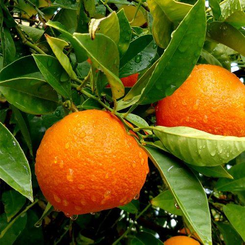 mandarini-3